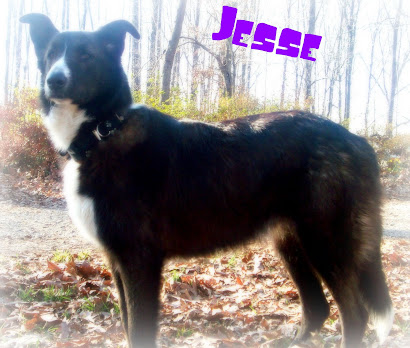 Jesse - Border Collie Mix