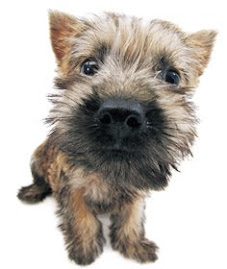 the dog gallery: Cairn Terrier
