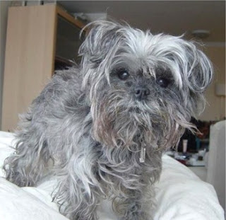 Grey color Affenpinscher puppy dog looking innocent sexy photo