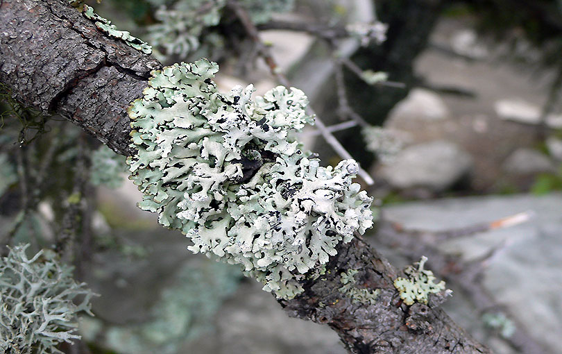 liquen lichen parmelia sulcata nordic nordico arbol arbre tree finlandia finland