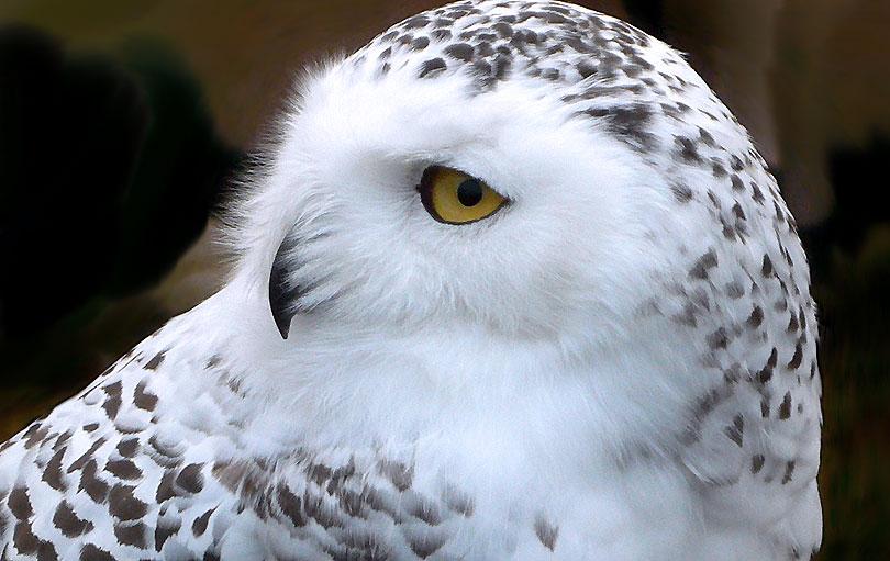 white owl mussol blanc buho nival blanco ocell pajaro bird
