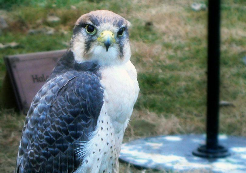 peregrine falcon falco peregri halcon peregrino ocell rapaz rapinyaire