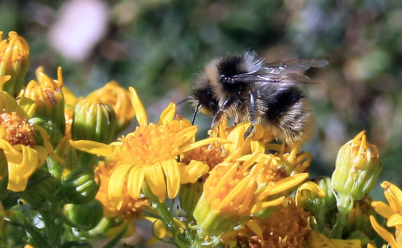 borinot abejorro Bumblebee bombus terrestris abellot flors groc flores amarillo yellow flowers