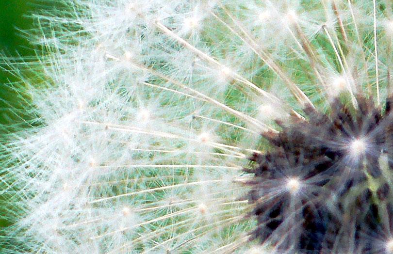 taraxacum officinale pixallits dent lleo diente leon dandelion