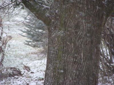 arborvitae tree in the snow flurries