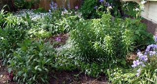 Scilla hispanica and Galium odoratum