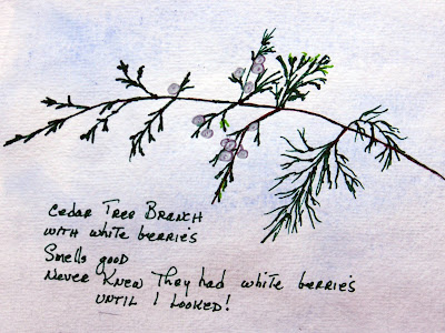 I cut this cedar tree brance to sketch and found the small white berries