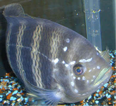 Treatment of betta fish diseases for Betta fish disease
