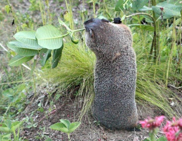 a breakdown of woodchucks by maxine kumins June 6, 2015 by rozell close reading 'the woodchucks' – amended (6/12/15) after first reading the woodchucks by maxine kumin, one might think that it is about a gardener who is trying to get rid of woodchucks that have taken over their garden.