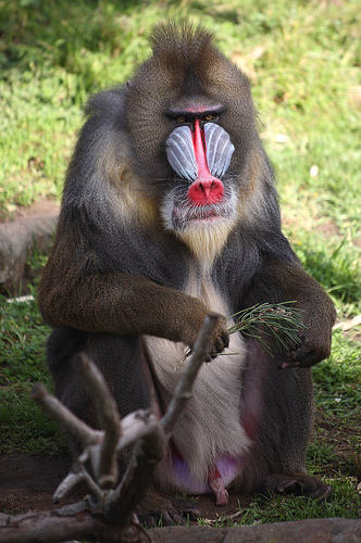 Animal Picture: Mandrill baboon