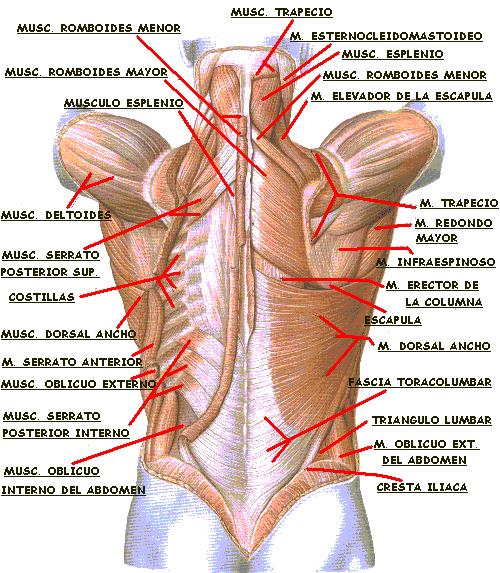 La osteocondrosis sheynogo del departamento de pecho lumbar