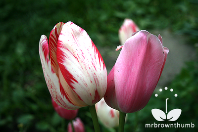 tulip with virus, sick tulip