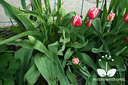 how to get tulips to stand straight