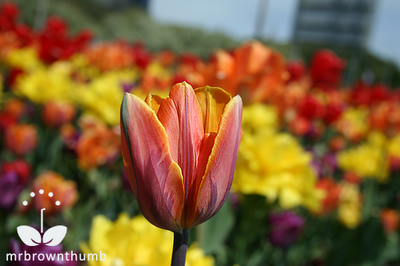 multicolored tulip