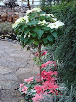 Poinsettia standard topiary shape