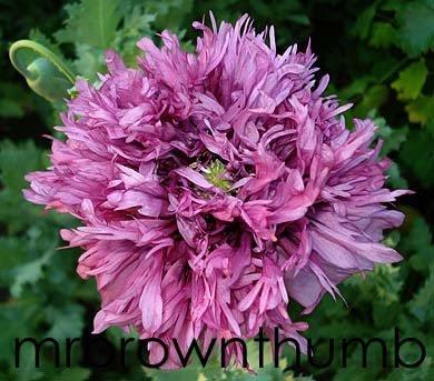 lavender peony poppy, chicago gardening