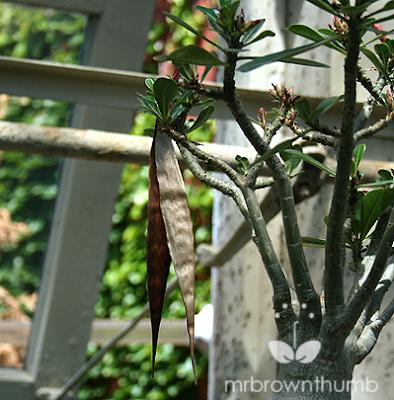 Adenium Obesum, Desert Rose flower seed pod