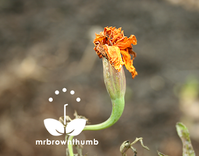 Fading marigold bloom how to save marigold seeds
