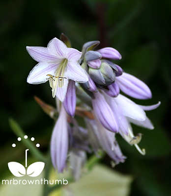Single hosta flower, how to collect hosta blooms