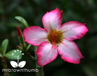 Pink Dessert Rose, Adenium Obesum flower