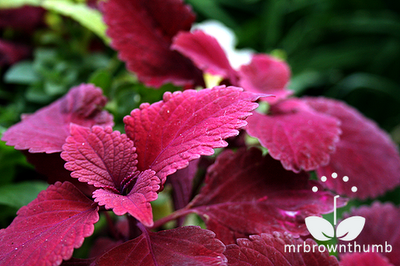 Coleus Redhead, Ball Horticultural Company