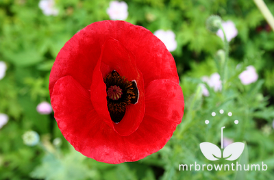 Flanders poppy flower, Corn poppy Flower, Red poppy flower