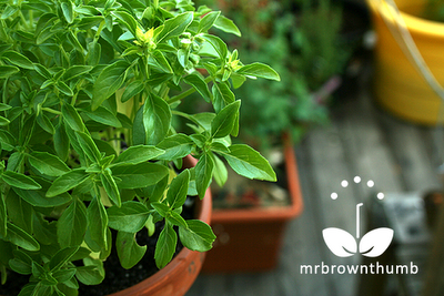 Bonsai basil Windowbox variety growing in container garden