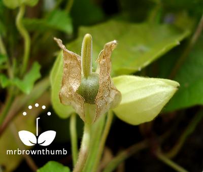 Black-Eyed Susan vine seed pod, Thunbergia alata seed pod
