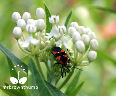 Large Milkweed Bug, Oncopeltus fasciatus