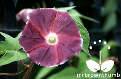 Japanese Morning Glory Chocolate Rose Silk Bloom