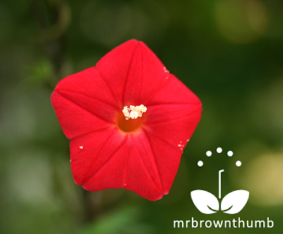 Cardinal Climber vine flower