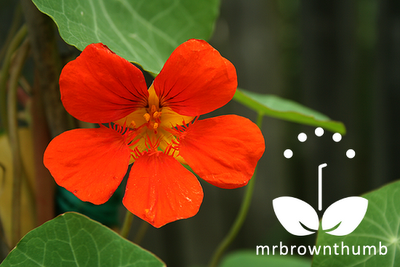 'Spitfire' Climbing Nasturtium