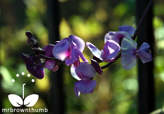 Hyacinth bean vine flowers