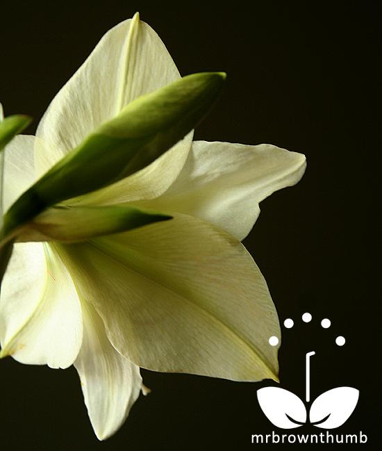 Amaryllis Lemon Lime Hippeastrum Bloom