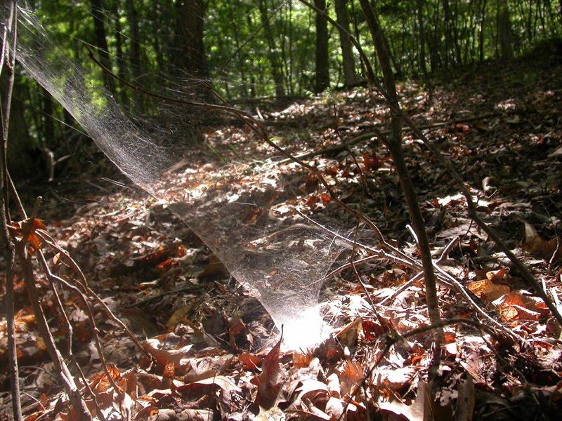 Wolf Spider funnel web