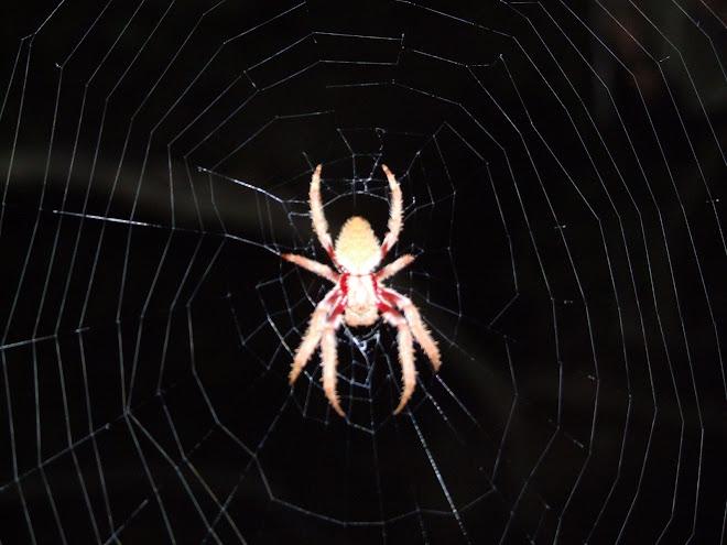 big spider,australia