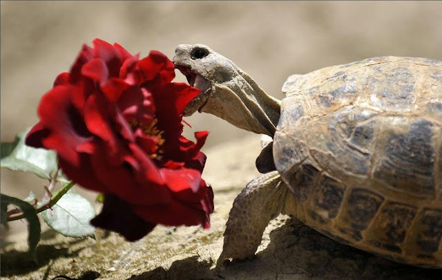 turtle+eat​ing+rose