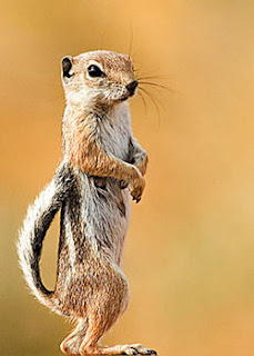 250px-White_Tailed_Squirrel.jpg