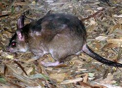 250px-Malagasy.giant.rat.arp.jpg