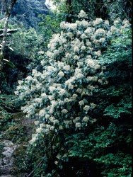 neomirandeaaraliifolia.250a.jpg