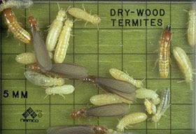 drywoodtermites.jpg