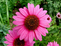 Echinacea Supplements Prevent Cold Symptoms
