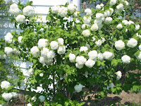 white snowball bush