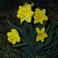 more daffodils by our house