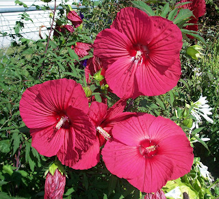 three red hibiscus flowers