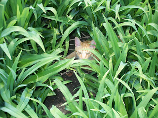 Jasper hiding in the Tiger lilies
