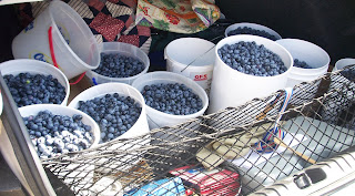 pails of blueberries in our trunk