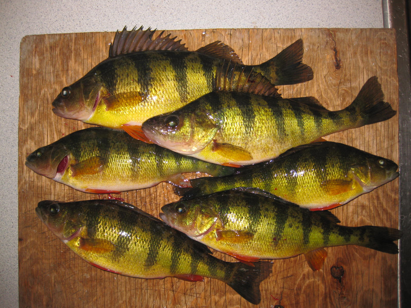 Fish h8 me champlain ice and yellow perch for Ice fishing for perch