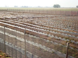 Plantacion de Arandano
