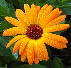 Calendula (Calendula officinalis)
